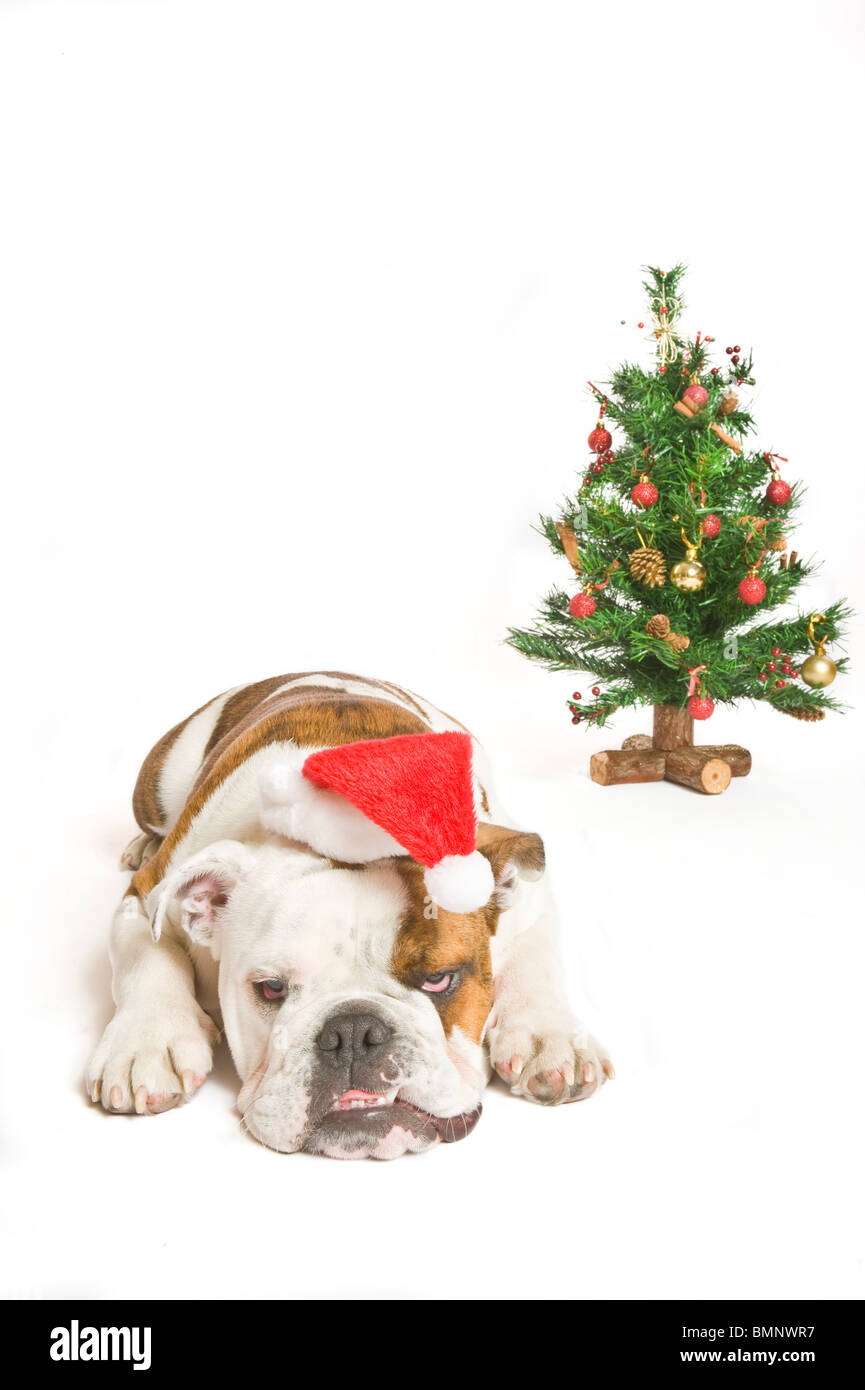 A British Bulldog with a Santa hat on next to a Christmas tree against a pure white (255rgb) background. - Stock Image