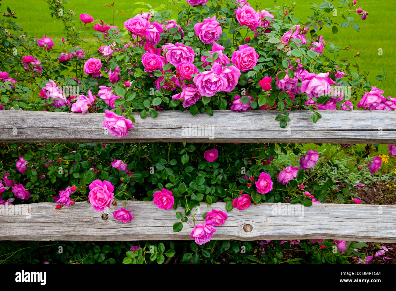 Deep pink roses and a rustic old fence at the Junction House restaurant in Kingsland, Texas, USA. - Stock Image