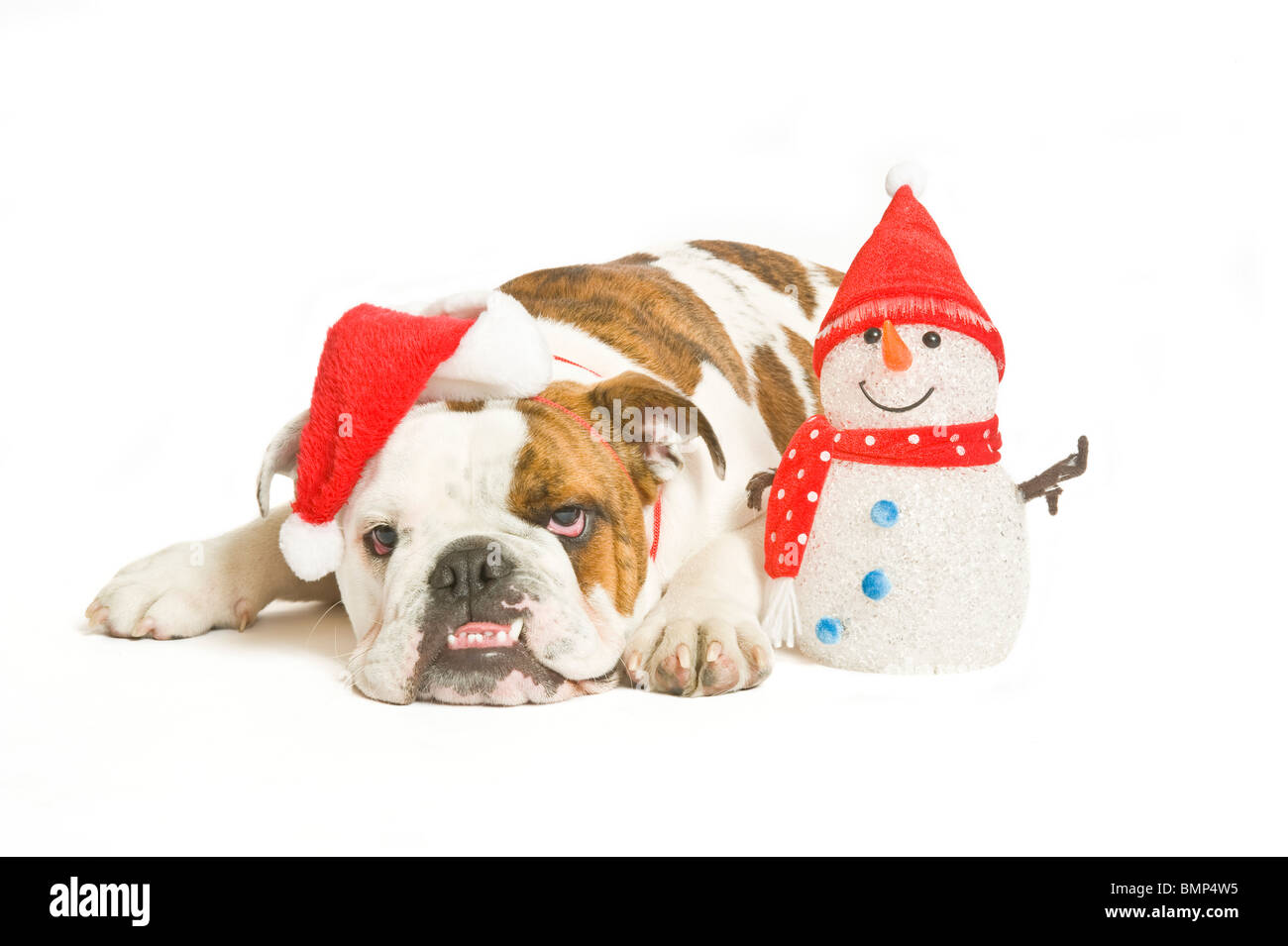 A British Bulldog looking really fed up with a Santa hat on next to a smiling toy snowman against a pure white (255rgb) - Stock Image