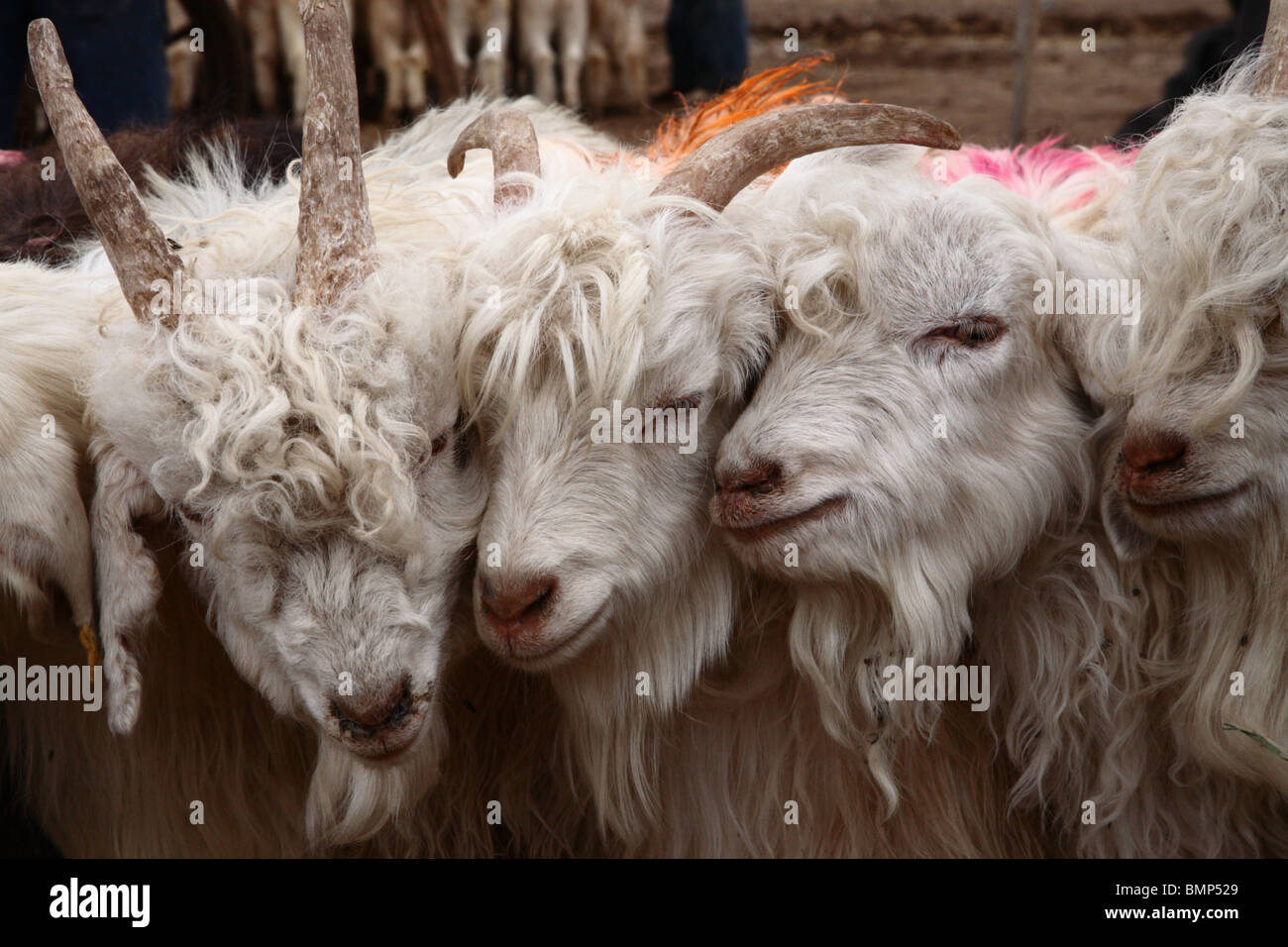 Young goats being prepared and groomed for sale in the Kashgar farmers market, Kashgar, Western Xinjiang province, - Stock Image