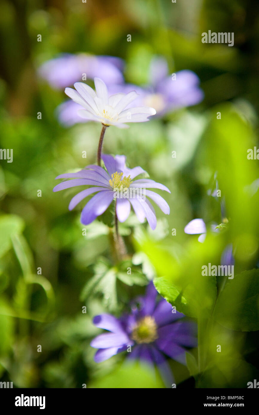Small purple flowers with yellow centre stock photos small purple purple anemone flowers in the sunshine stock image mightylinksfo