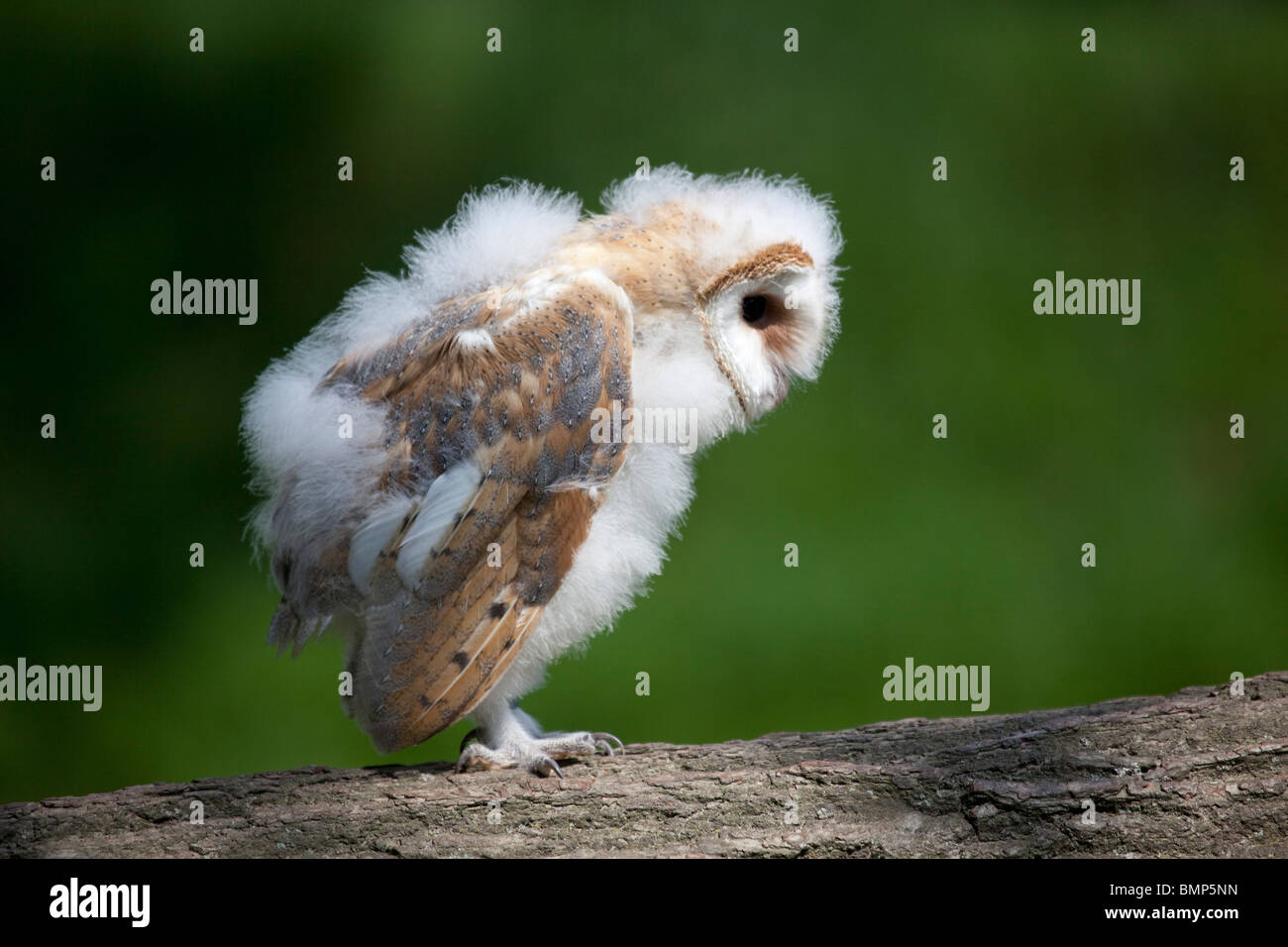 Barn Owl chick (Tyto alba) portrait of bird in profile perched on a log taken under controlled conditions Stock Photo