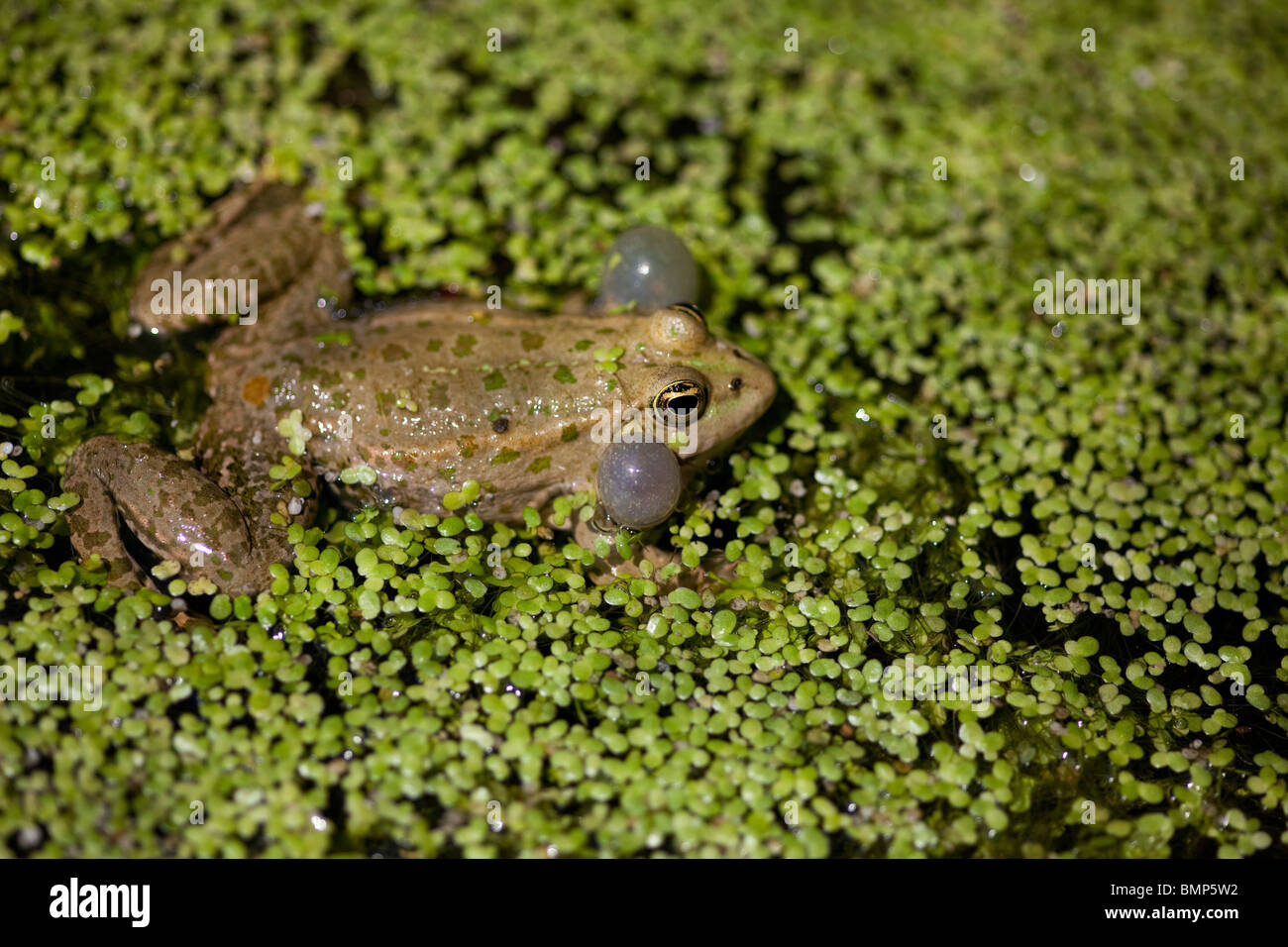Marsh Frog Rana Ridibunda in pond weed  with prominent vocal sacs calling taken under controlled conditions - Stock Image