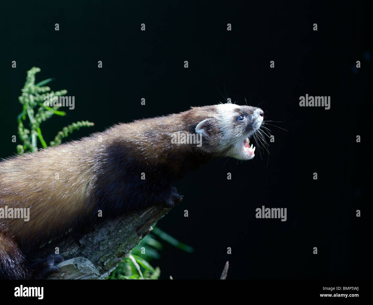 Polecat (Mustela putorius) profile and headshot baring teeth against a dark background taken under controlled conditions - Stock Image