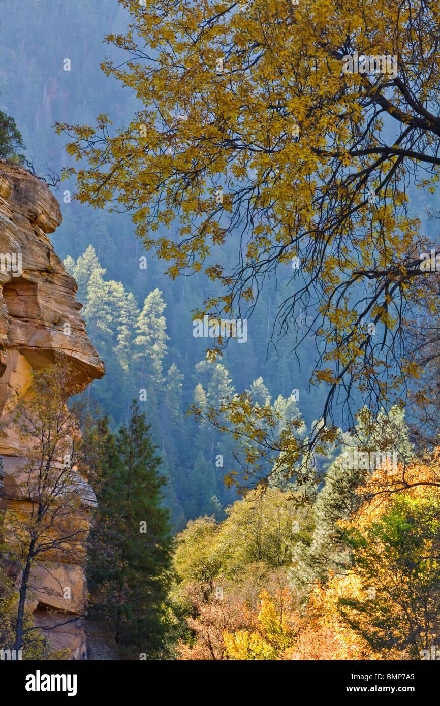 Autumn foliage including velvet ash in Oak Creek Canyon, area of Coconino National Forest, near Sedona, Arizona - Stock Image