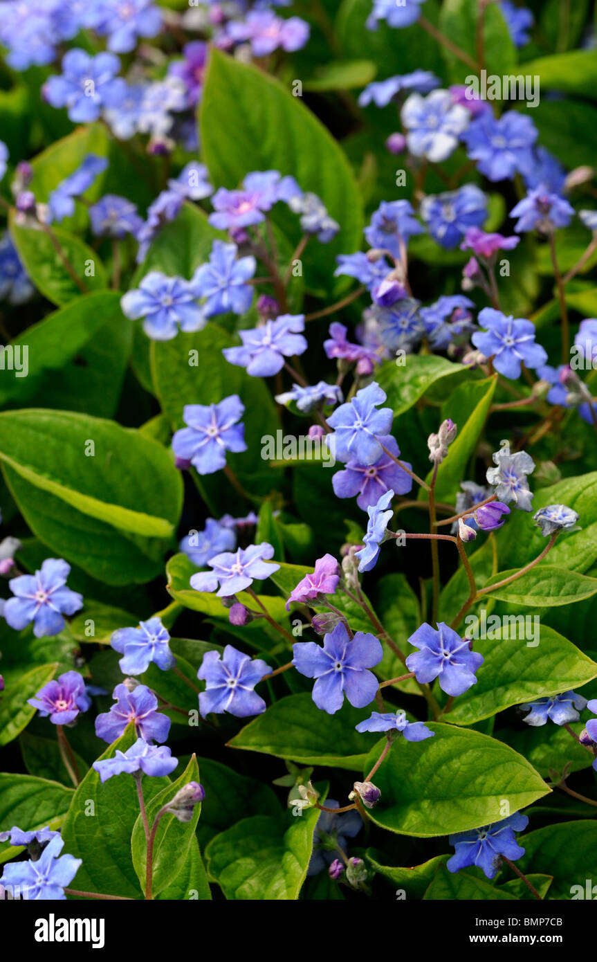 Omphalodes verna Blue eyed Mary pale blue flowers perennial bloom blooming blossom summer groundcover - Stock Image