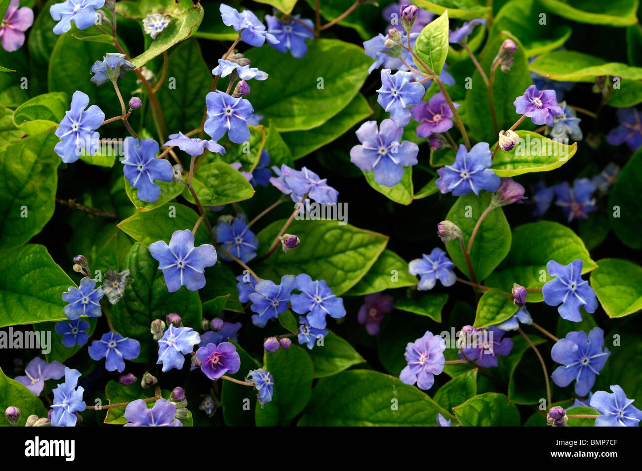 Omphalodes verna Blue eyed Mary pale blue flowers perennial bloom blooming blossom summer groundcover Stock Photo