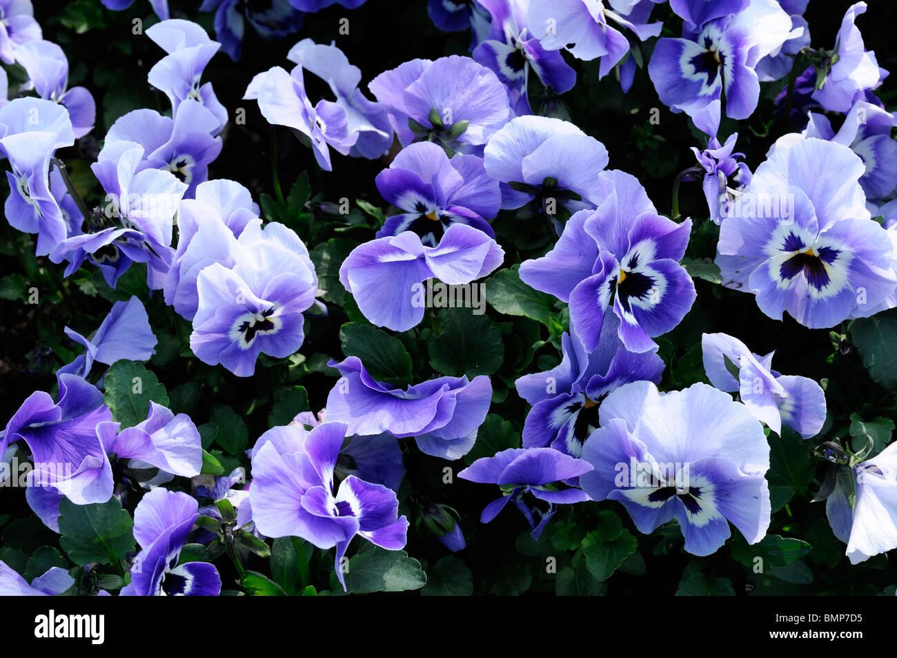Viola wittrockiana pansy joker light blue flower - Stock Image