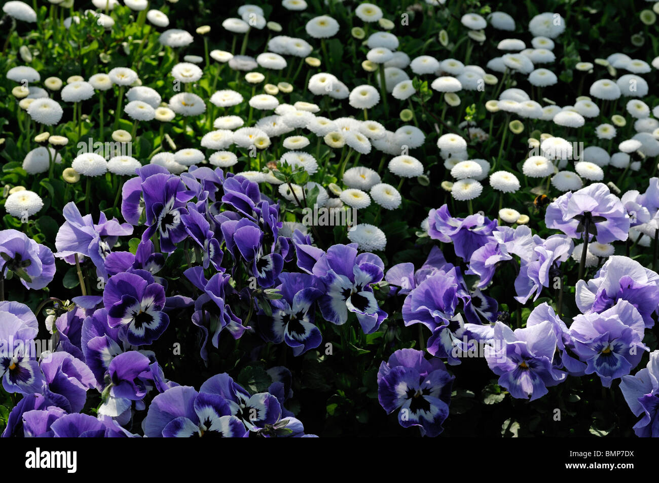 Viola x wittrockiana pansy joker light blue and bellis pomponette white mix mixed contrast contrasting flower bed - Stock Image