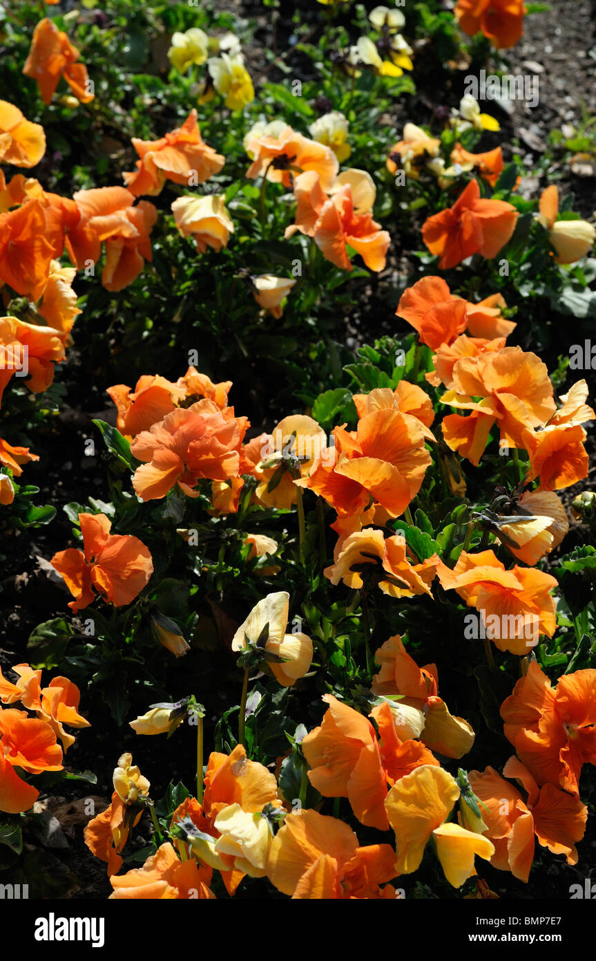 Viola wittrockiana Padparadja Pansy russet-orange flowers without no face Maxim Series shortlived - Stock Image