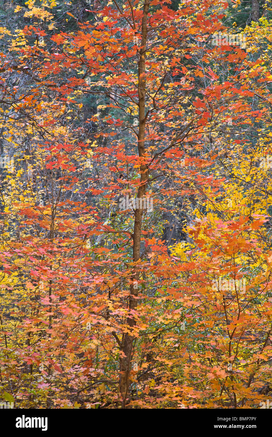Bigtooth Maple in autumn color in West Fork of Oak Creek Canyon, Coconino National Forest, near Sedona, Arizona Stock Photo