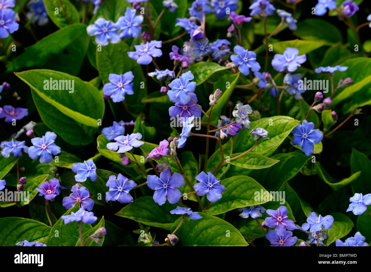 Omphalodes verna blue eyed mary pale blue flowers perennial bloom omphalodes verna blue eyed mary pale blue flowers perennial bloom blooming blossom summer groundcover izmirmasajfo