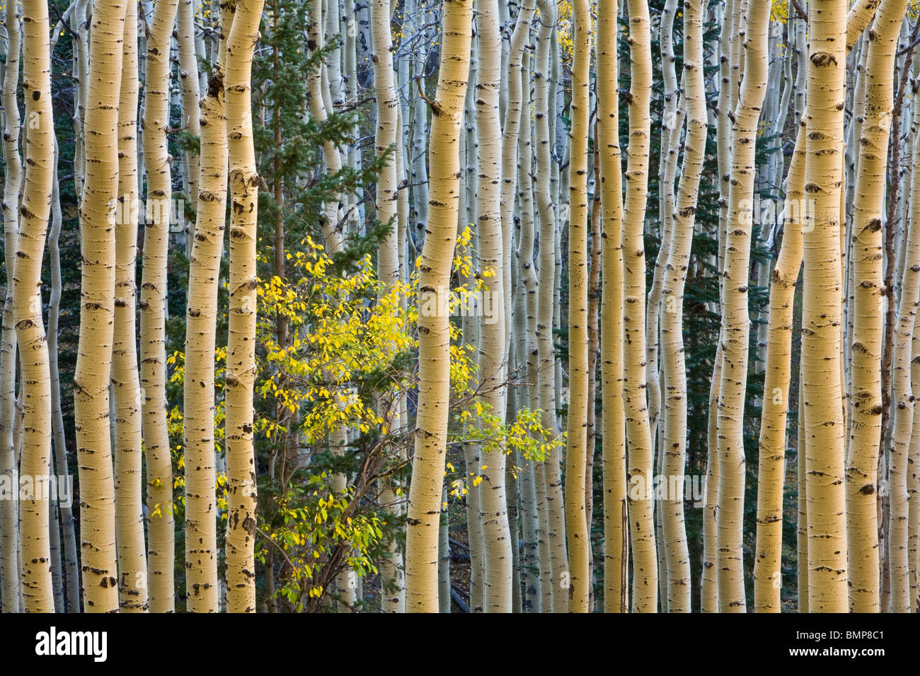 Grove of autumn aspen trees with yellow chokecherry tree on  slopes of San Francisco Peaks, Coconino National Forest, - Stock Image
