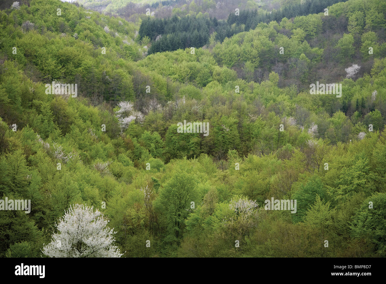 High Mountain Forest, deciduous and evergreen trees, Central Apennines, in National Park of the Casentini Forest, - Stock Image