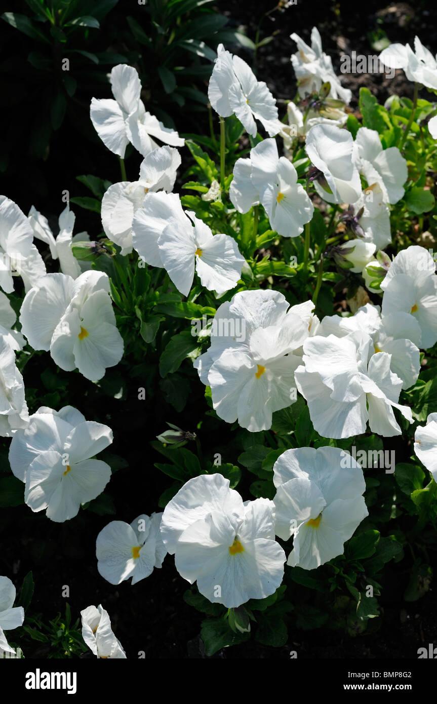 Viola wittrockiana pansy joker forerunner white flower bloom blossom - Stock Image