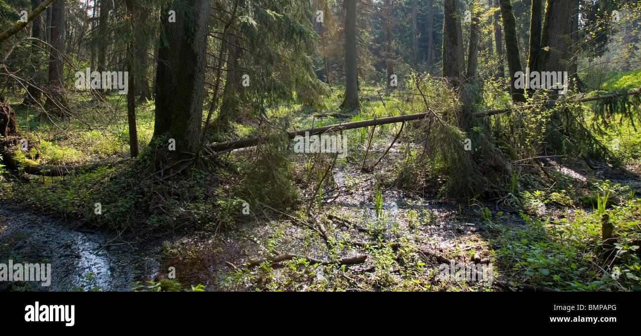 Springtime marshy stand with old alder trees and broken spruce lying - Stock Image