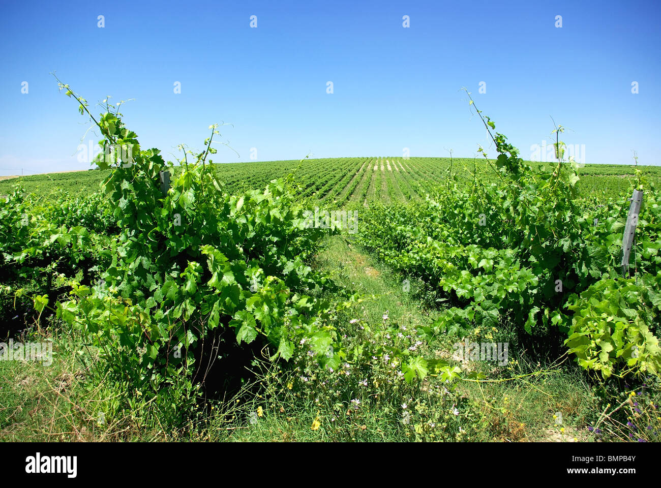 Green vineyard at Portugal. - Stock Image