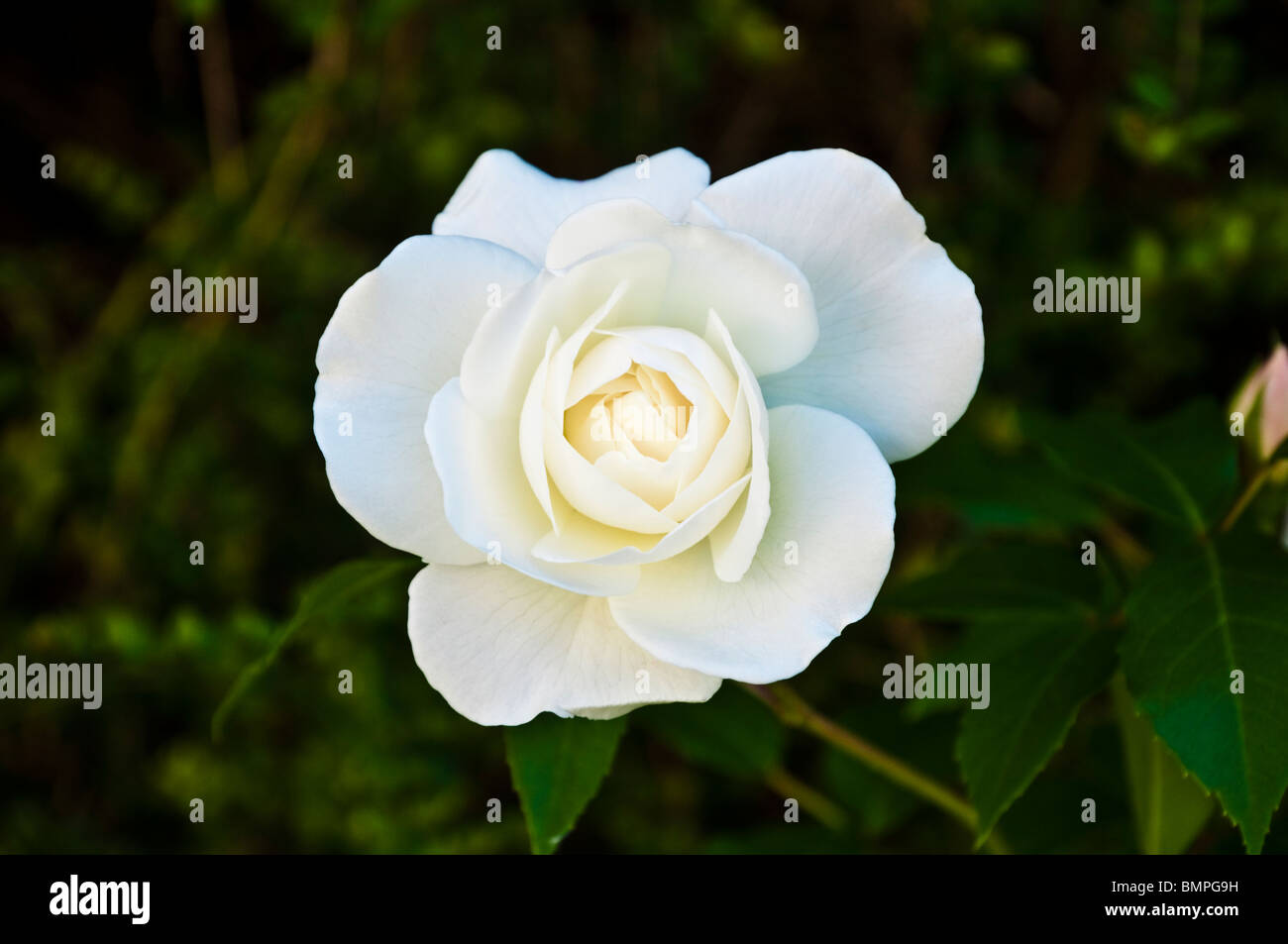 Iceberg Rose / Rosa - a pure and perfect snow-white softly scented rose growing in an English country garden. - Stock Image