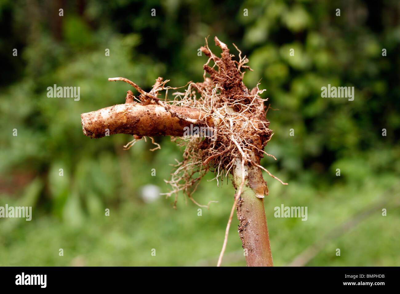 Turmeric (Curcuma longa) rhizome - Stock Image