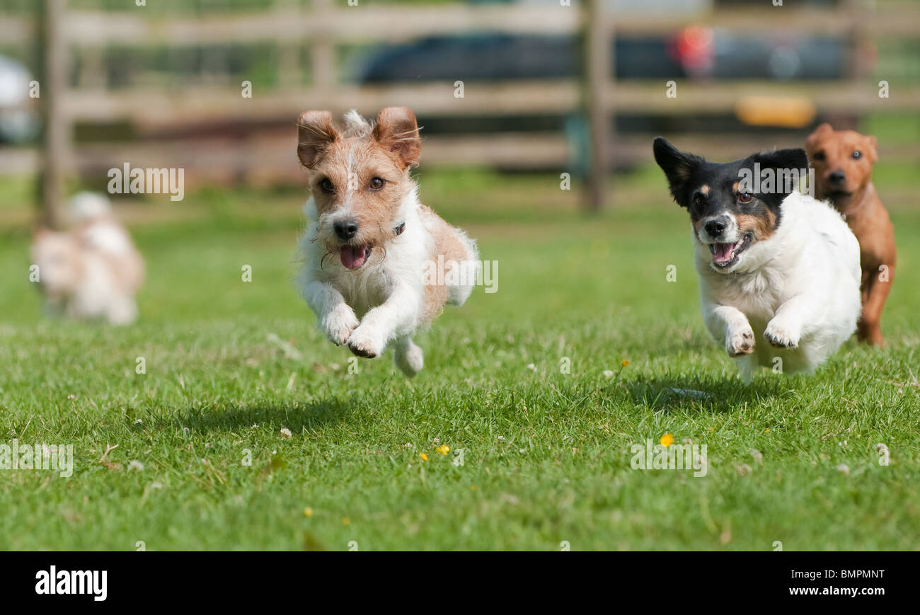 Dogs taking part in terrier racing at a country show, Rutland, England - Stock Image
