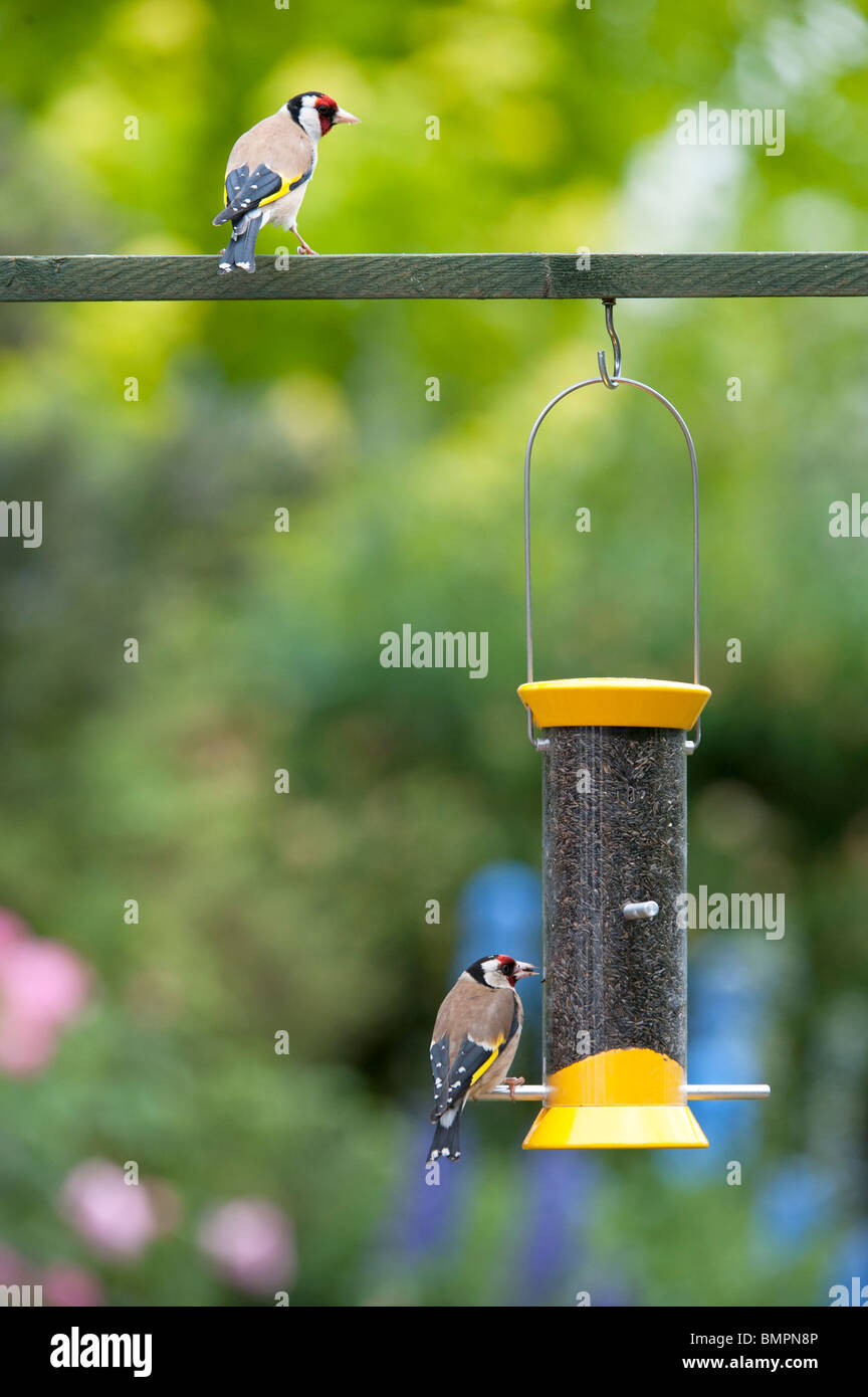Goldfinch on a nyjer bird seed feeder in an english garden - Stock Image