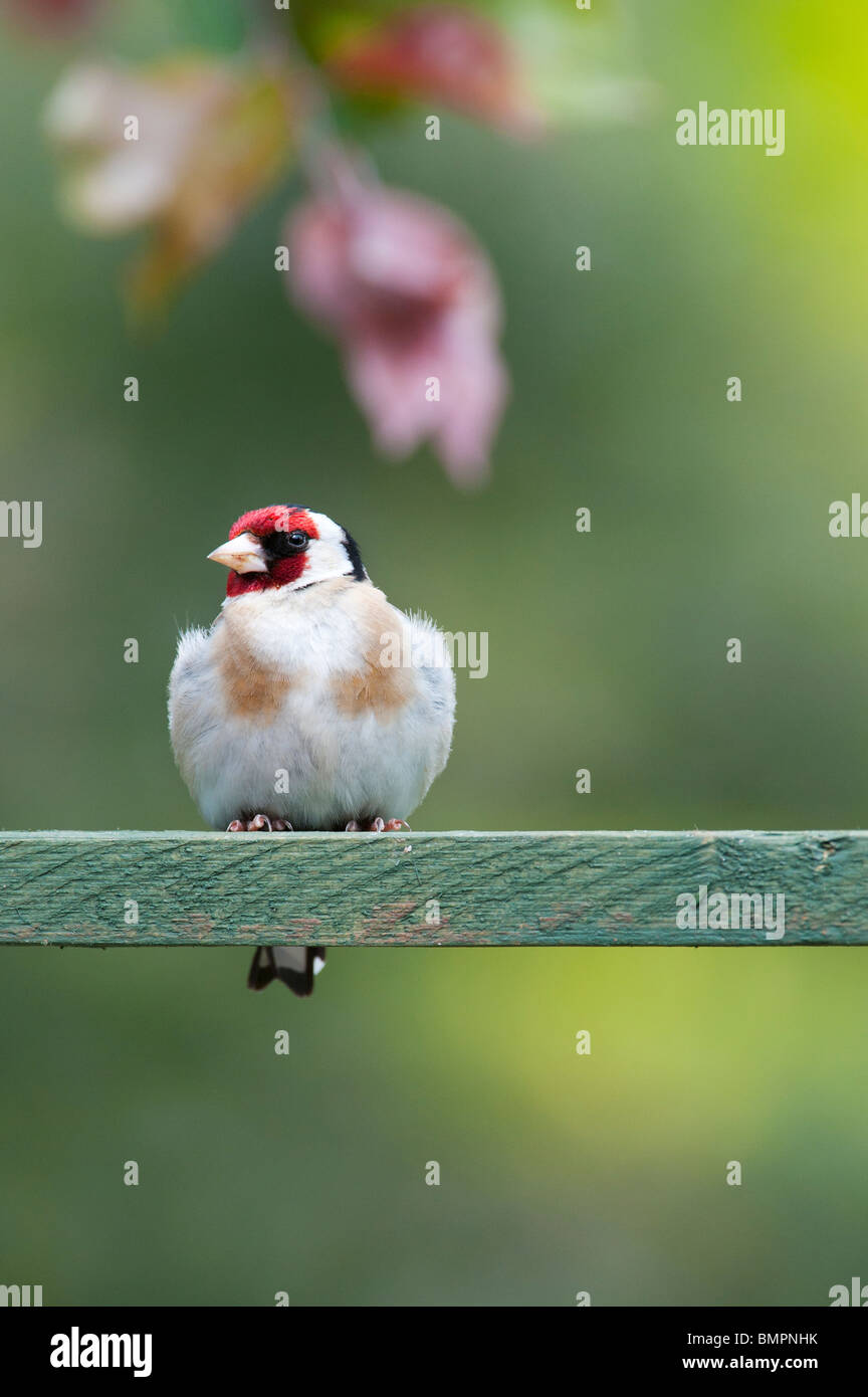 Goldfinch in an english garden sat on wooden trellis. UK - Stock Image