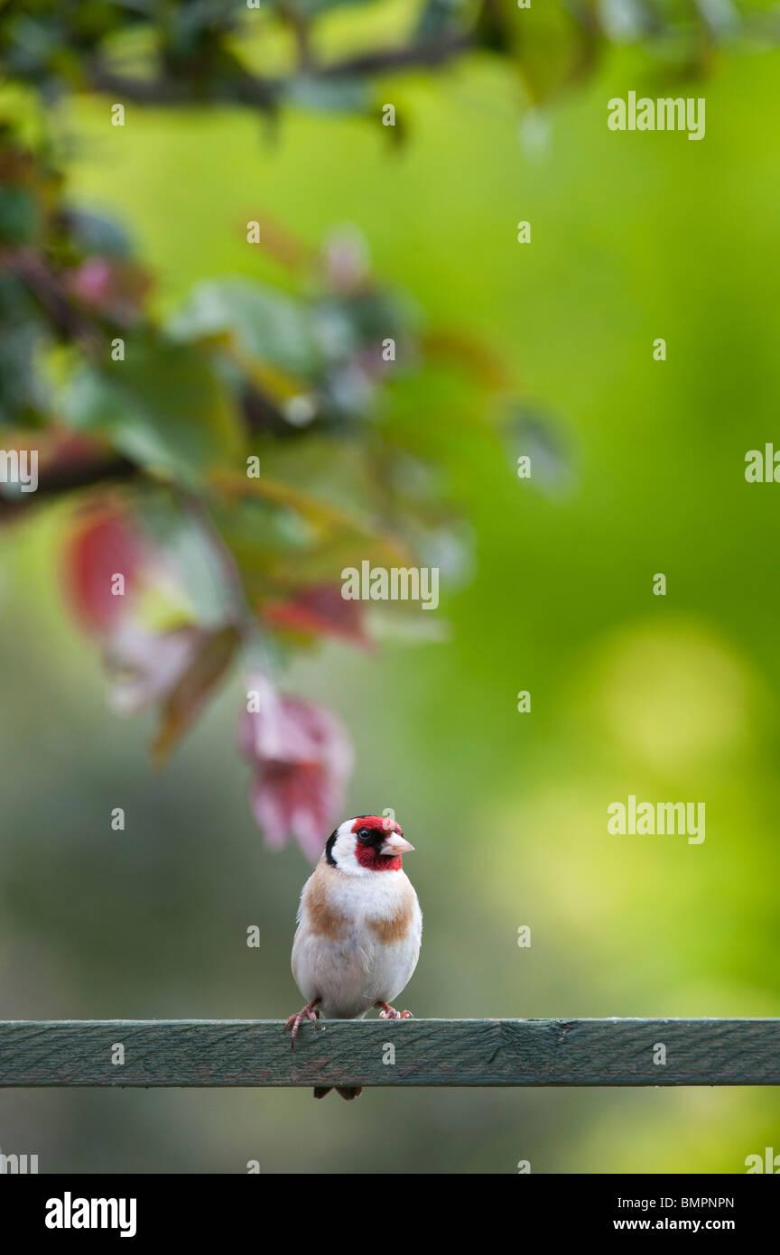 Goldfinch in an english garden sat on wooden trellis. UK - Stock Image