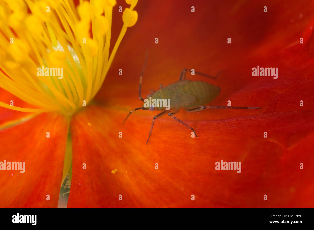 extreme close up of a greenfly or aphid (wingless form) on a helianthemum (rock rose) flower. - Stock Image
