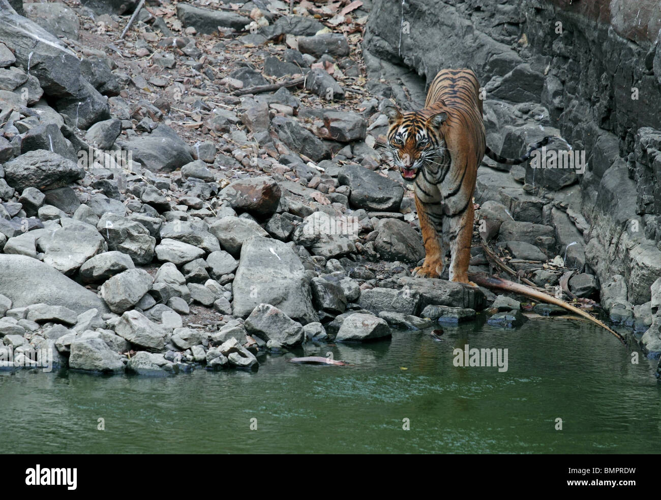 Tiger snarling near a water hole in Ranthambhore National Park, India - Stock Image