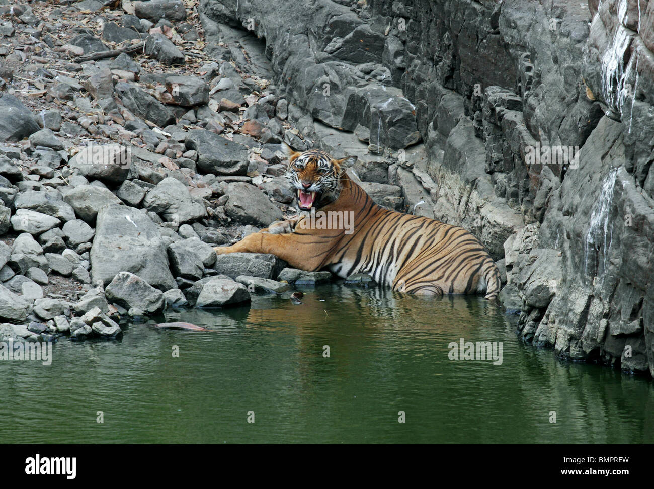 Tiger snarling while sitting in a water hole in Ranthambhore National Park, India - Stock Image