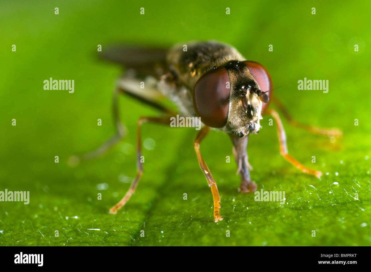 Extreme close up of the head of the syrphid or hover fly, Eupeodes luniger, feeding on a leaf - Stock Image