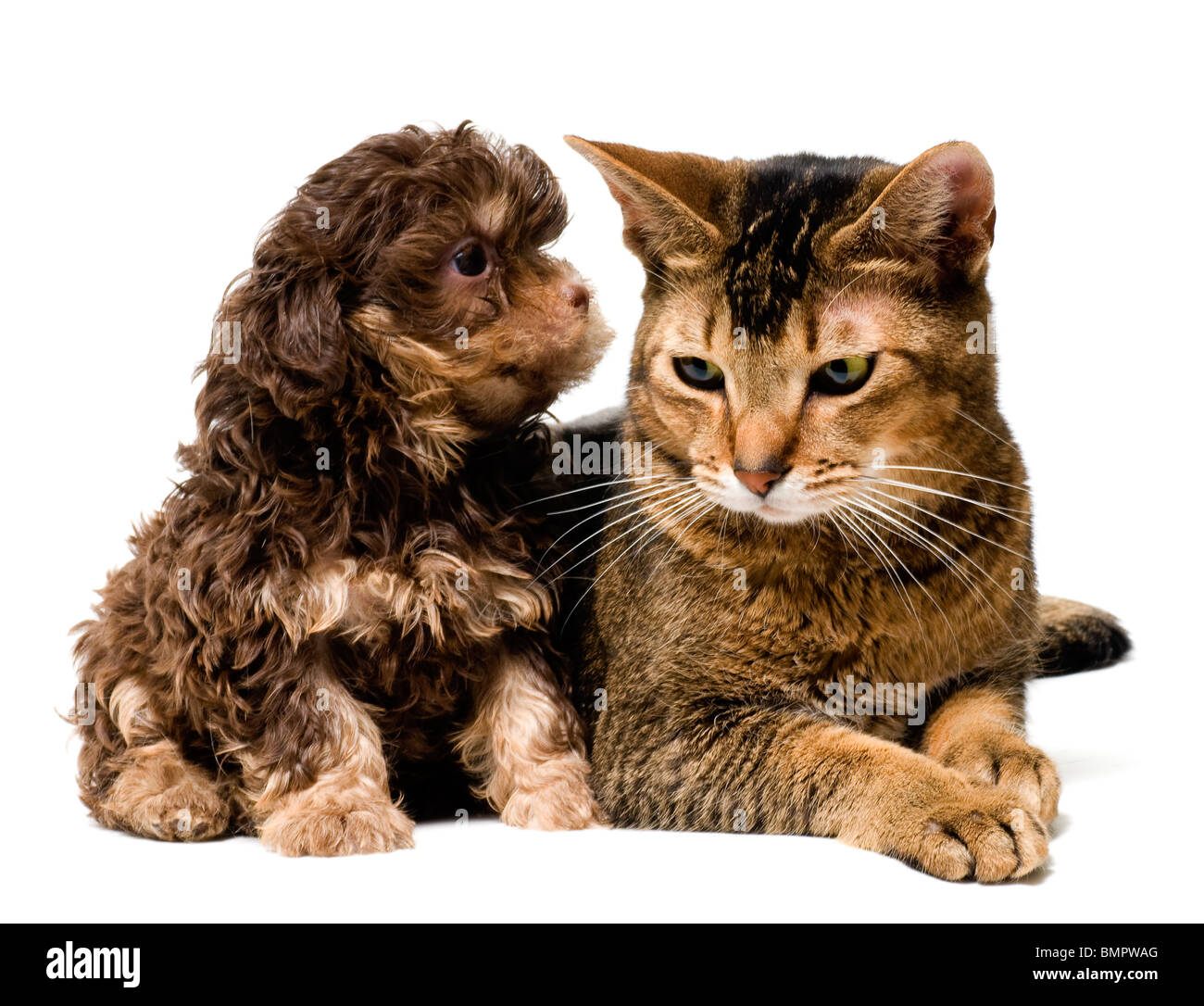 Cat and the puppy of the lapdog - Stock Image