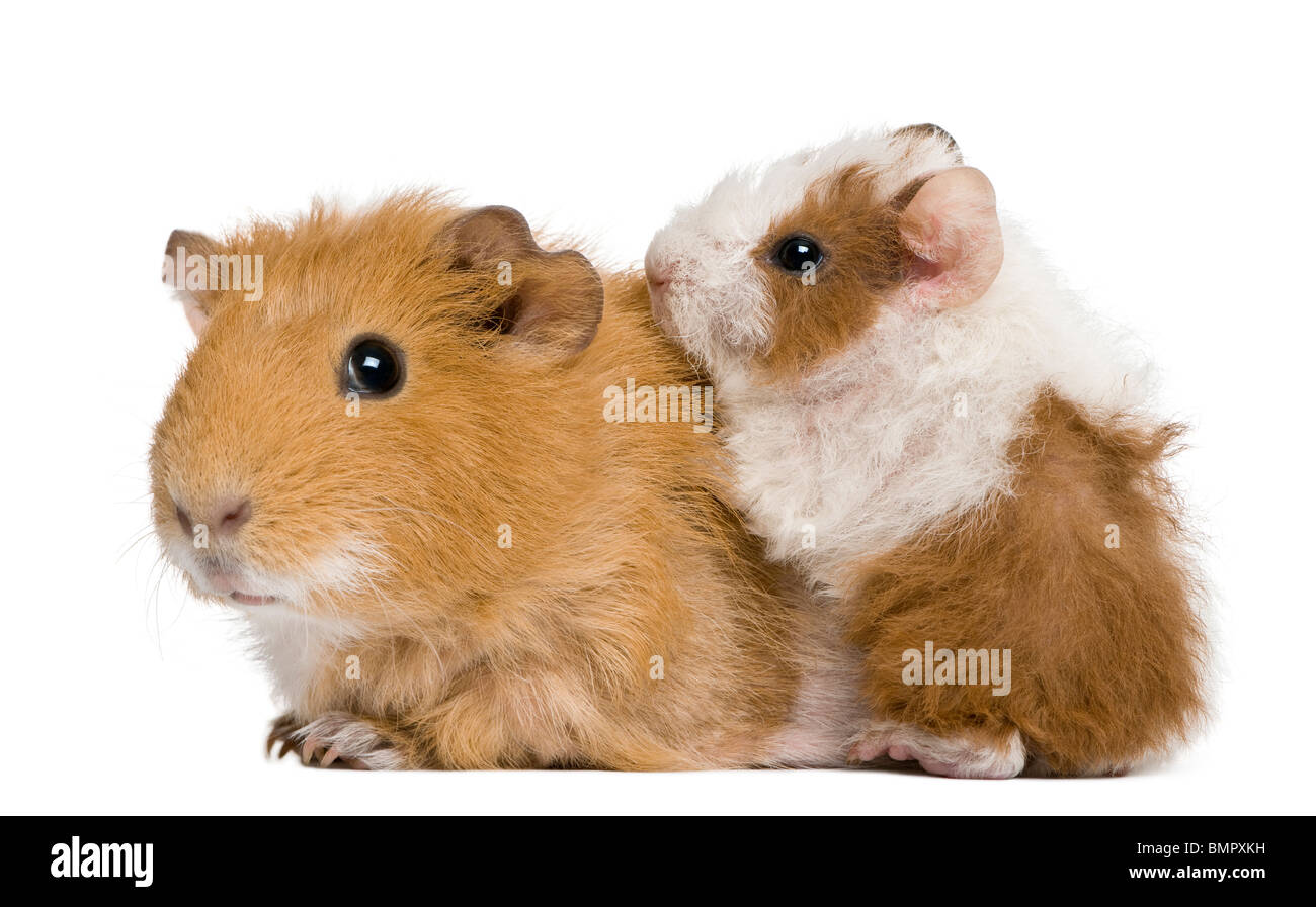 Mother Guinea Pig and her baby against white background - Stock Image