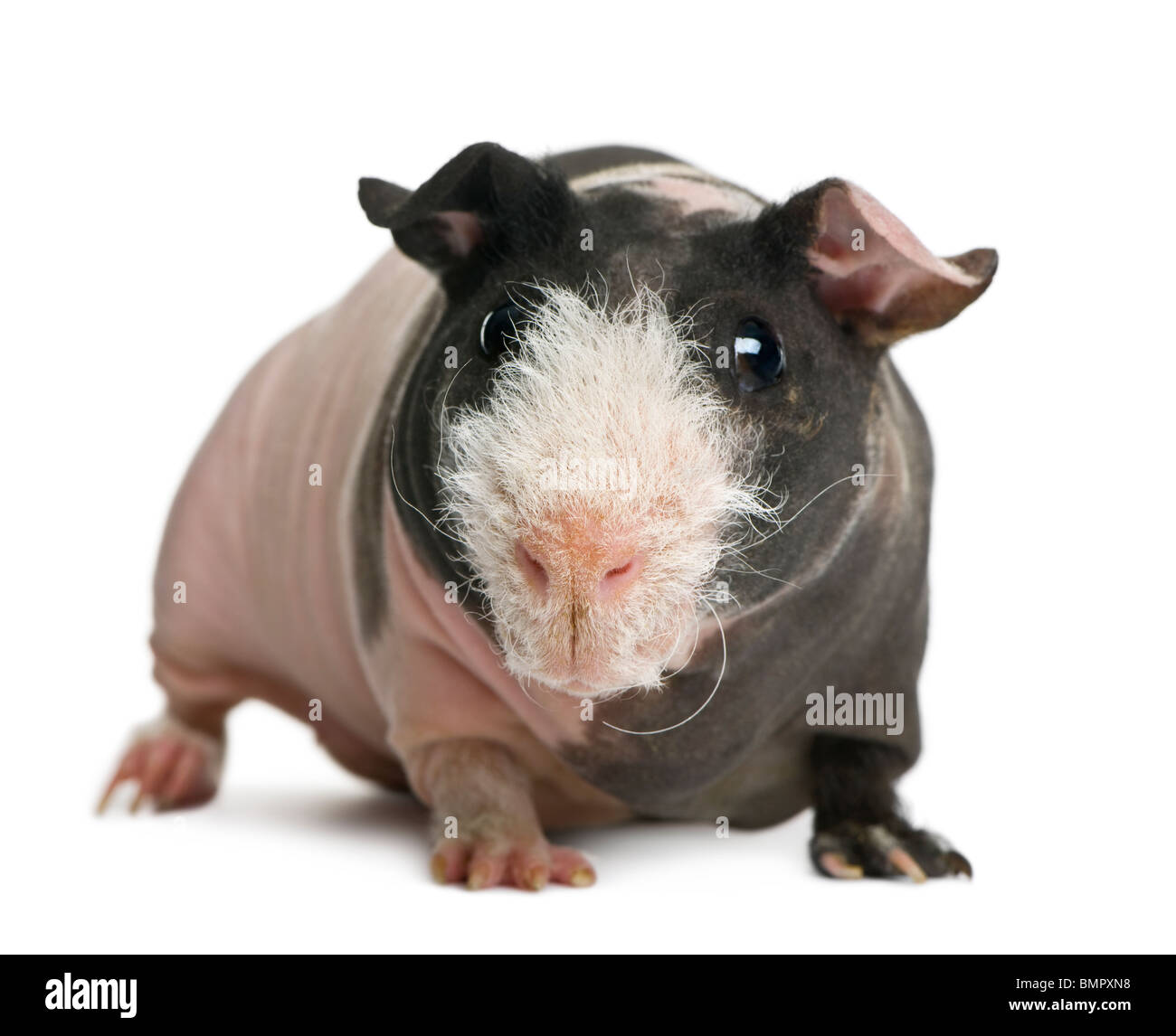 Hairless Guinea Pig standing against white background - Stock Image