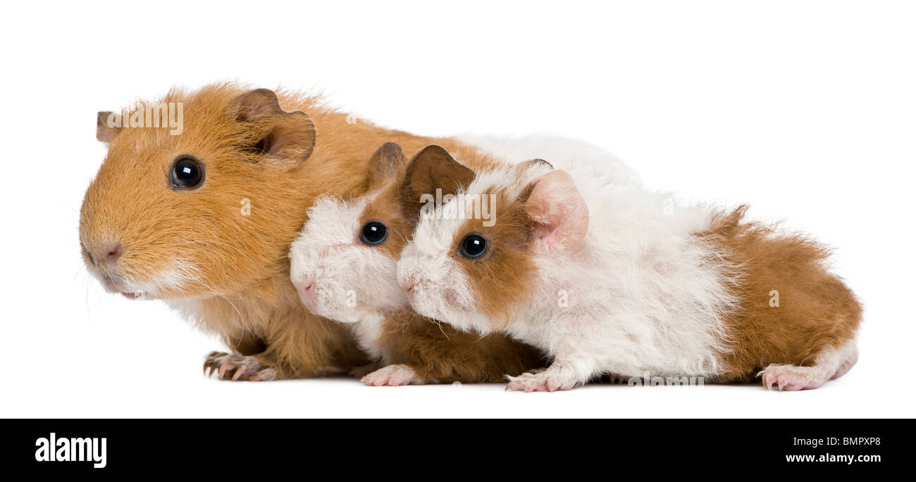 Mother Guinea Pig and her two babies against white background - Stock Image