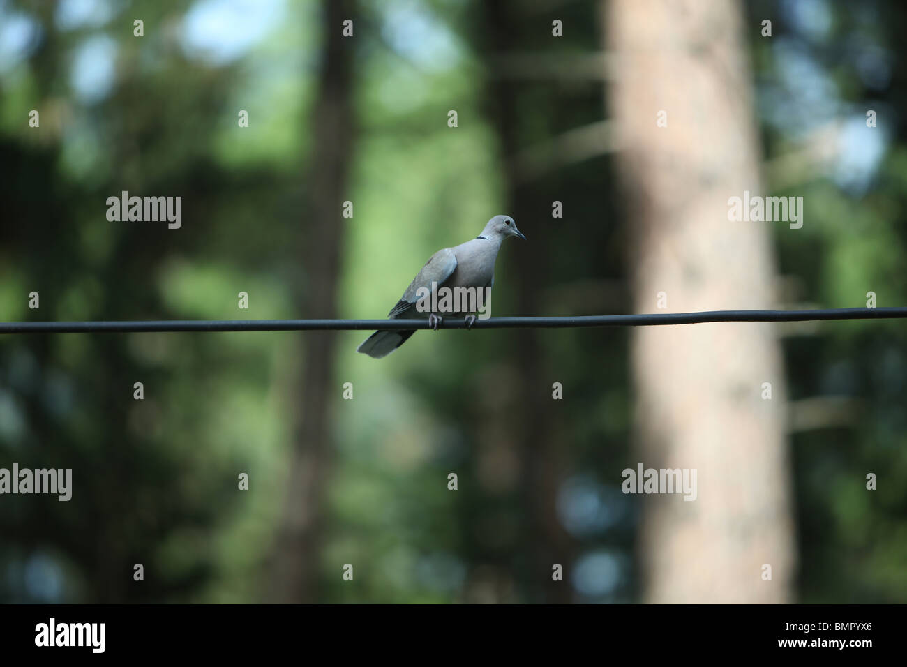 One 1 pigeon bird on wire unfocused background stand standing still balance middle grey animal fly blur soft wait - Stock Image