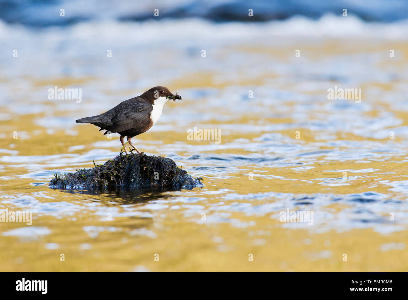 Dipper perched on rock in river - Stock Image