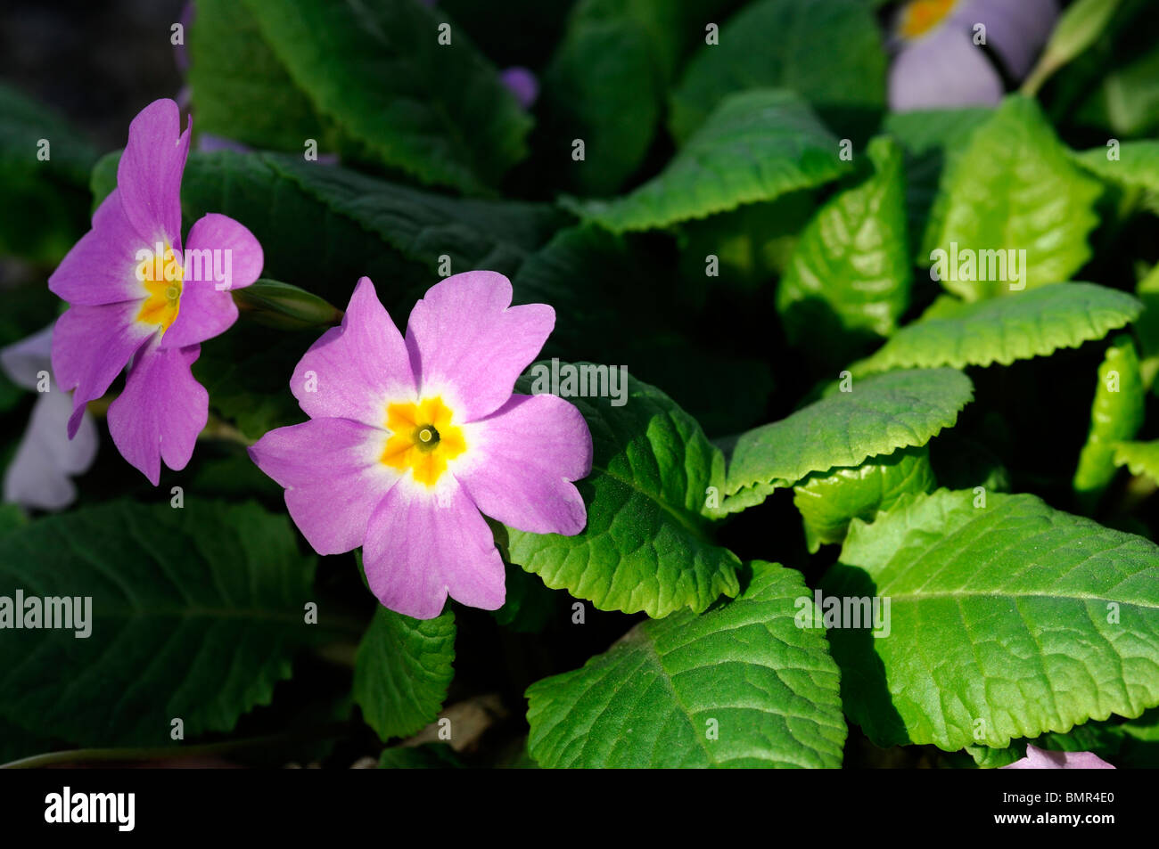 Small purple flowers with yellow centre stock photos small purple primula vulgaris subsp sibthorpii flowers purple yellow eye centre set against a green leafy leaf background mightylinksfo
