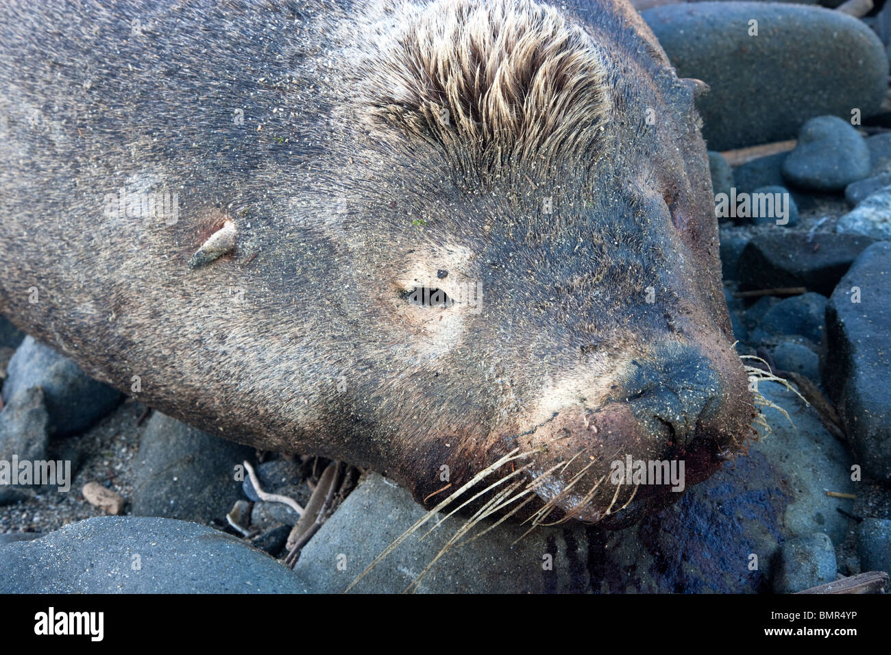 Deceased 'crested' Sea Lion bull, beach, portrait. - Stock Image