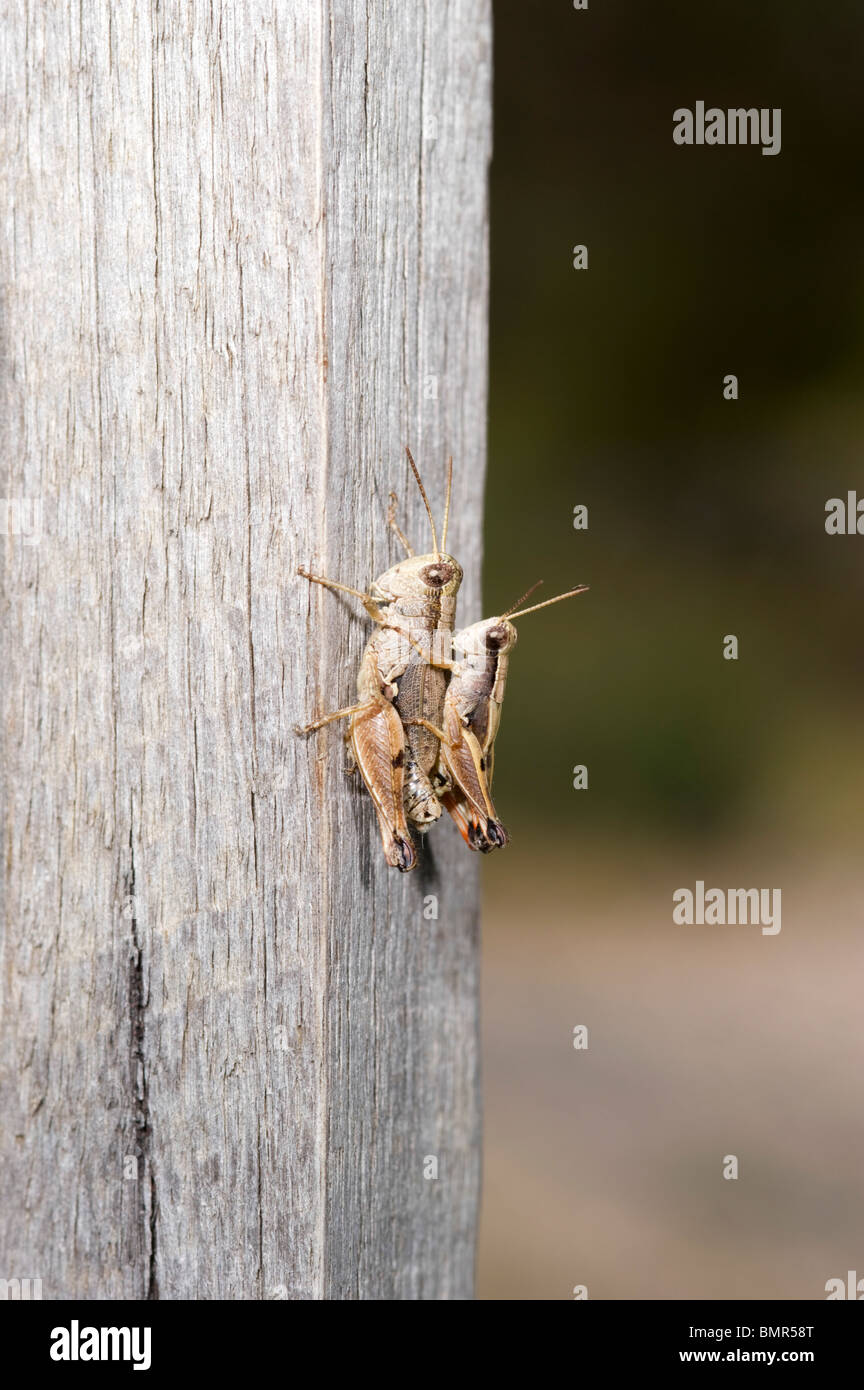 Mating pair of grasshoppers Stock Photo