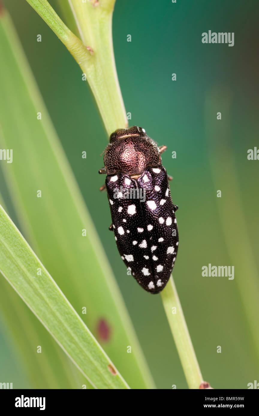 Australian jewel beetle on wattle branch Stock Photo