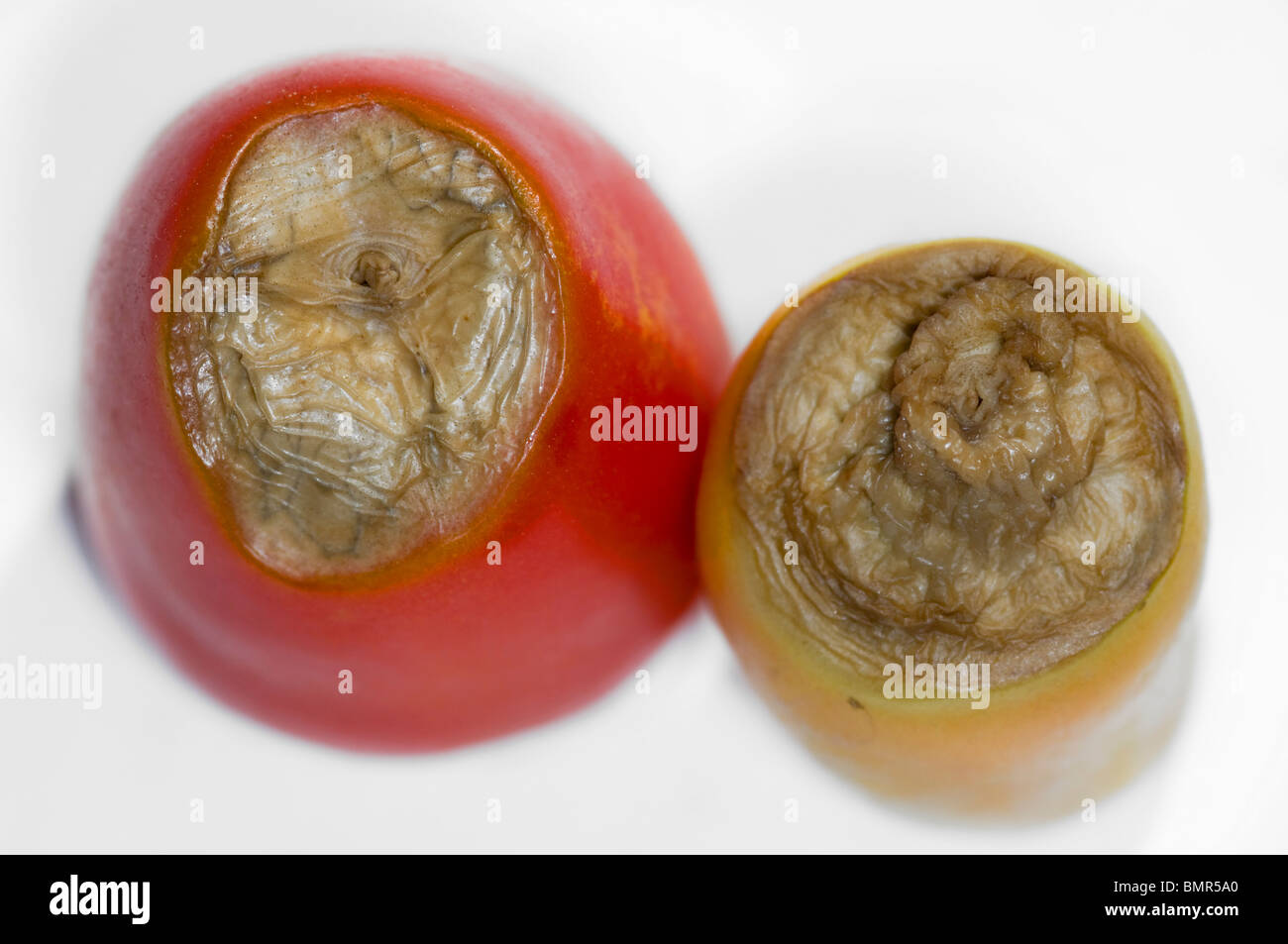 Blossom-end rot on Roma tomatoes - Stock Image