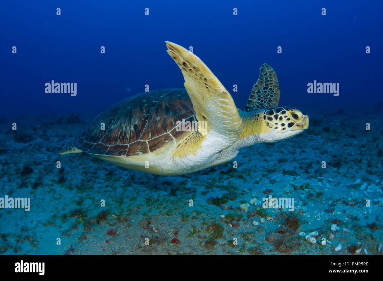Female Green Sea Turtle (Chelonia mydas) feeding on algae underwater in Juno Beach, FL. - Stock Image