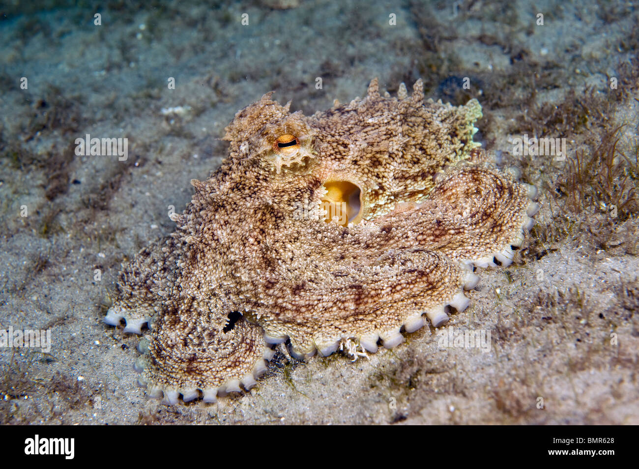 Reef Octopus (Octopus briareus) photographed in the Lake Worth Lagoon, an estuary near the Palm Beach Inlet, FL - Stock Image