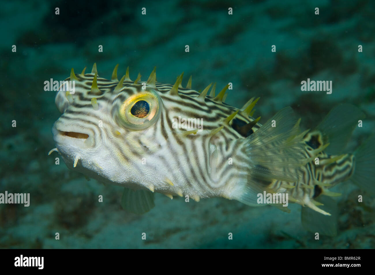 striped burrfish (Chilomycterus schoepfii) in the Lake Worth Lagoon, an estuary near the Palm Beach Inlet, Palm - Stock Image