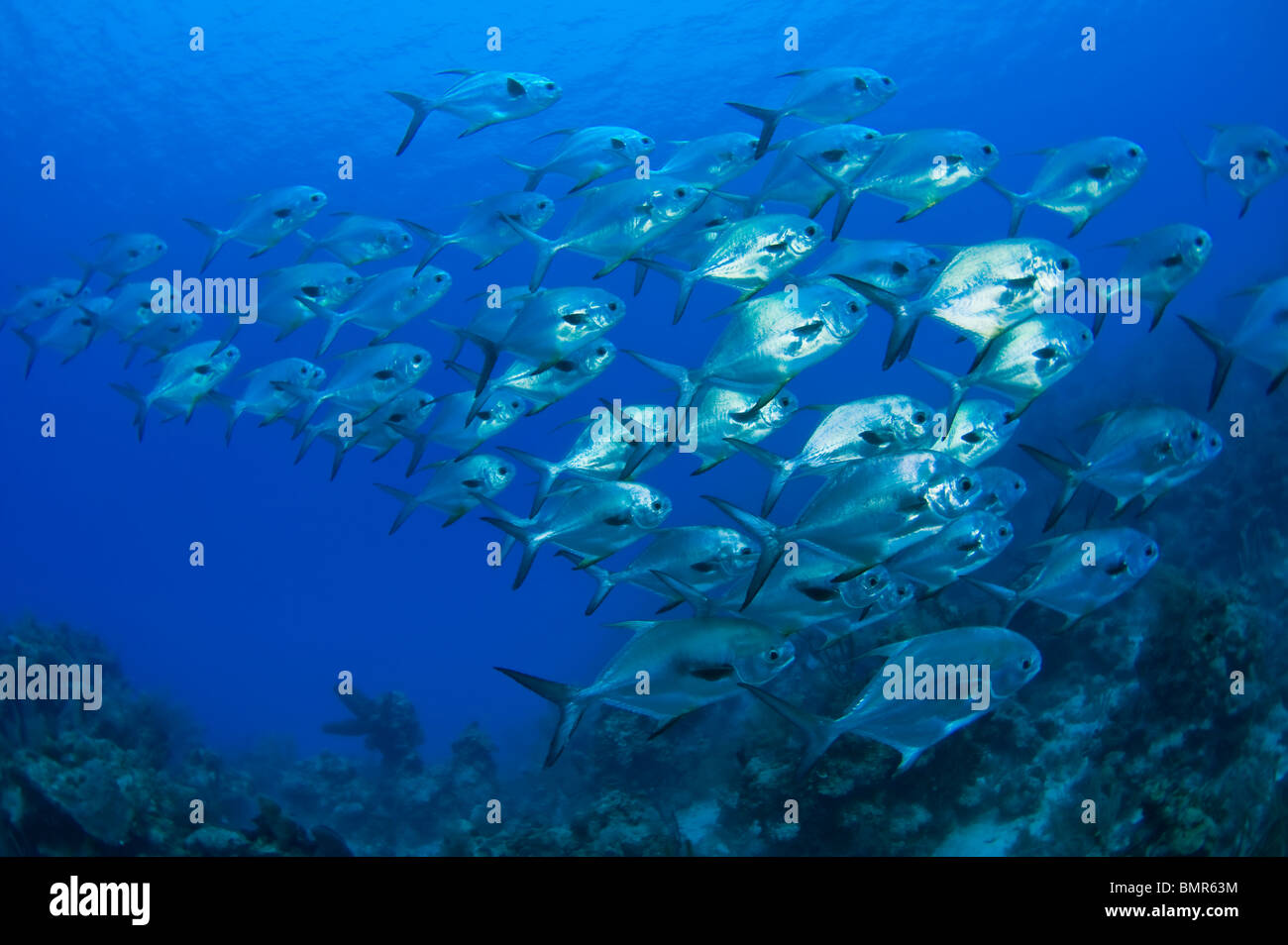 School of permit (Trachinotus falcatus) photographed in Southwest Caye, Belize, Central America. - Stock Image