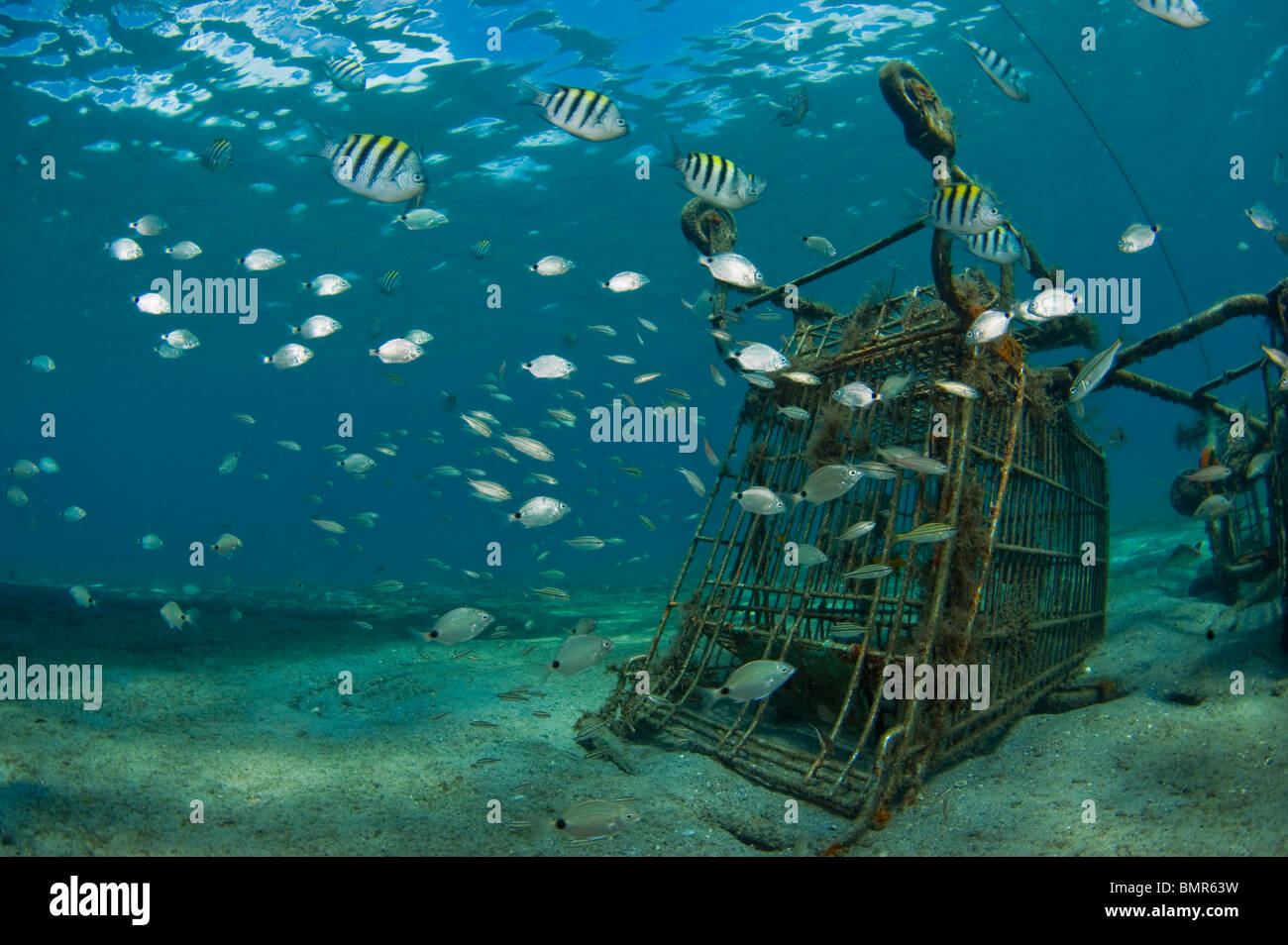 Sargeant Majors (Abudefduf saxatilis) and Spottail Pinfish (Diplodus holbrooki) swarm a shopping cart underwater - Stock Image