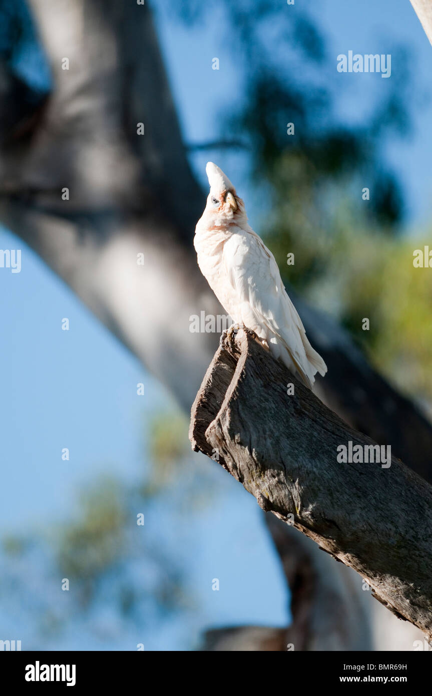 Little Corella, Queensland, Australia - Stock Image