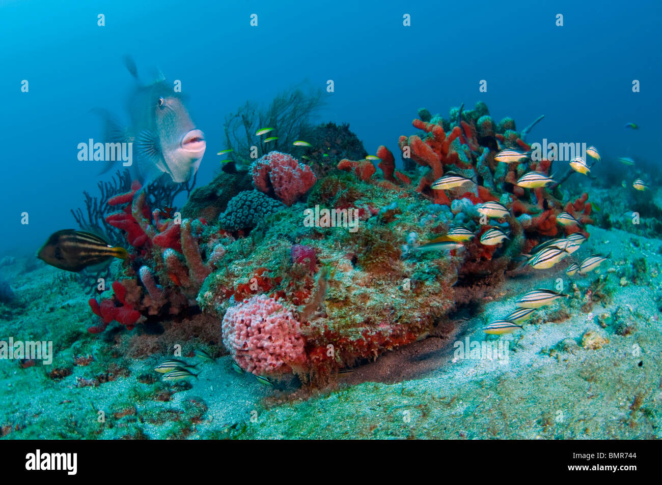 Coral Reef in Palm Beach, Florida with an assortment of invertebrates and fish species. - Stock Image
