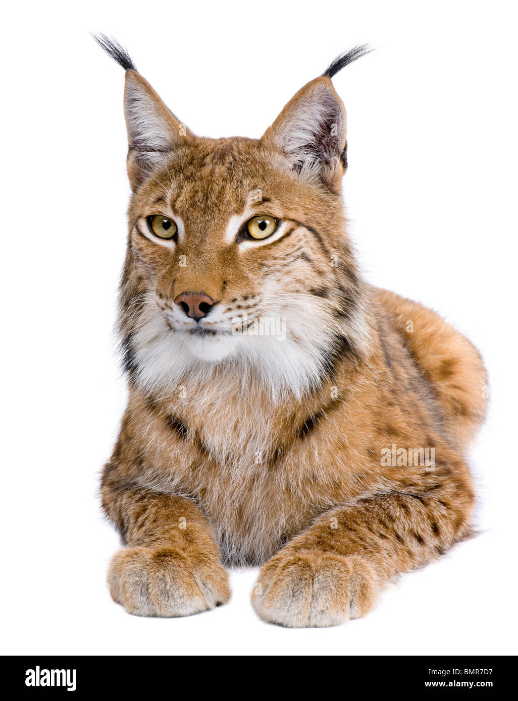 Eurasian Lynx, Lynx lynx, 5 years old, in front of a white background - Stock Image
